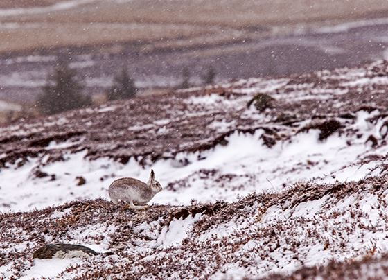 Mountain hare 2