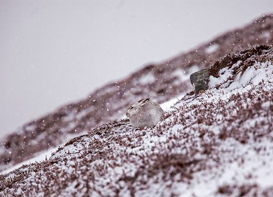 Mountain hare 3