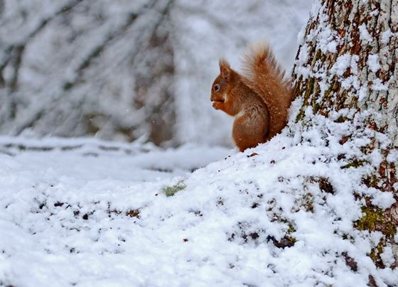 Red squirrel 11