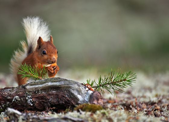 Red squirrel 16