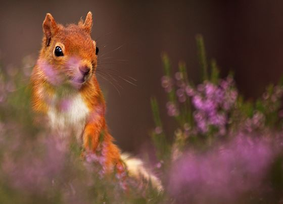 Red squirrel 17