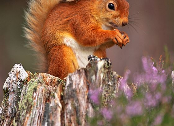Red squirrel 18
