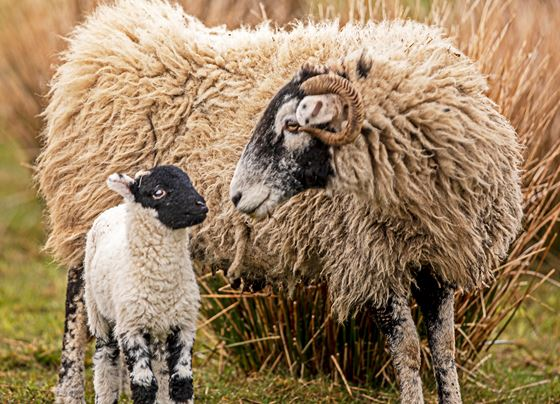 Swaledale and lamb.